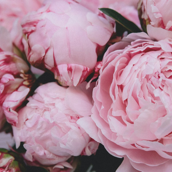 May Birth Flower: Peony