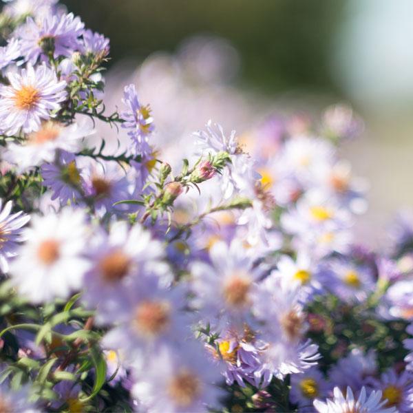 September Birth Flower: Aster