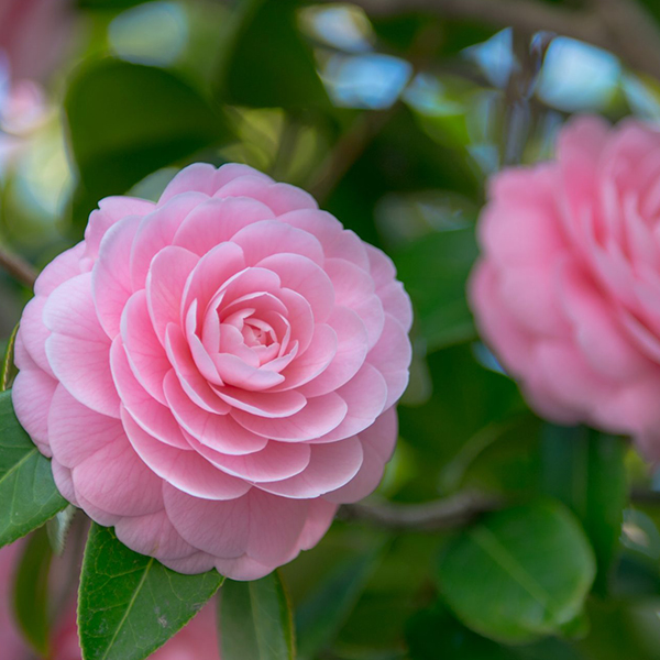 November Birth Flower: Camellia
